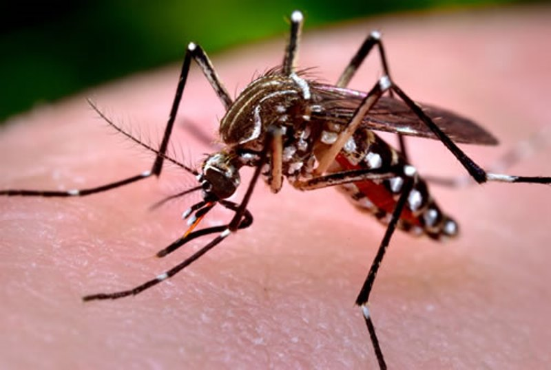 aedes aegypti 5204d b4401